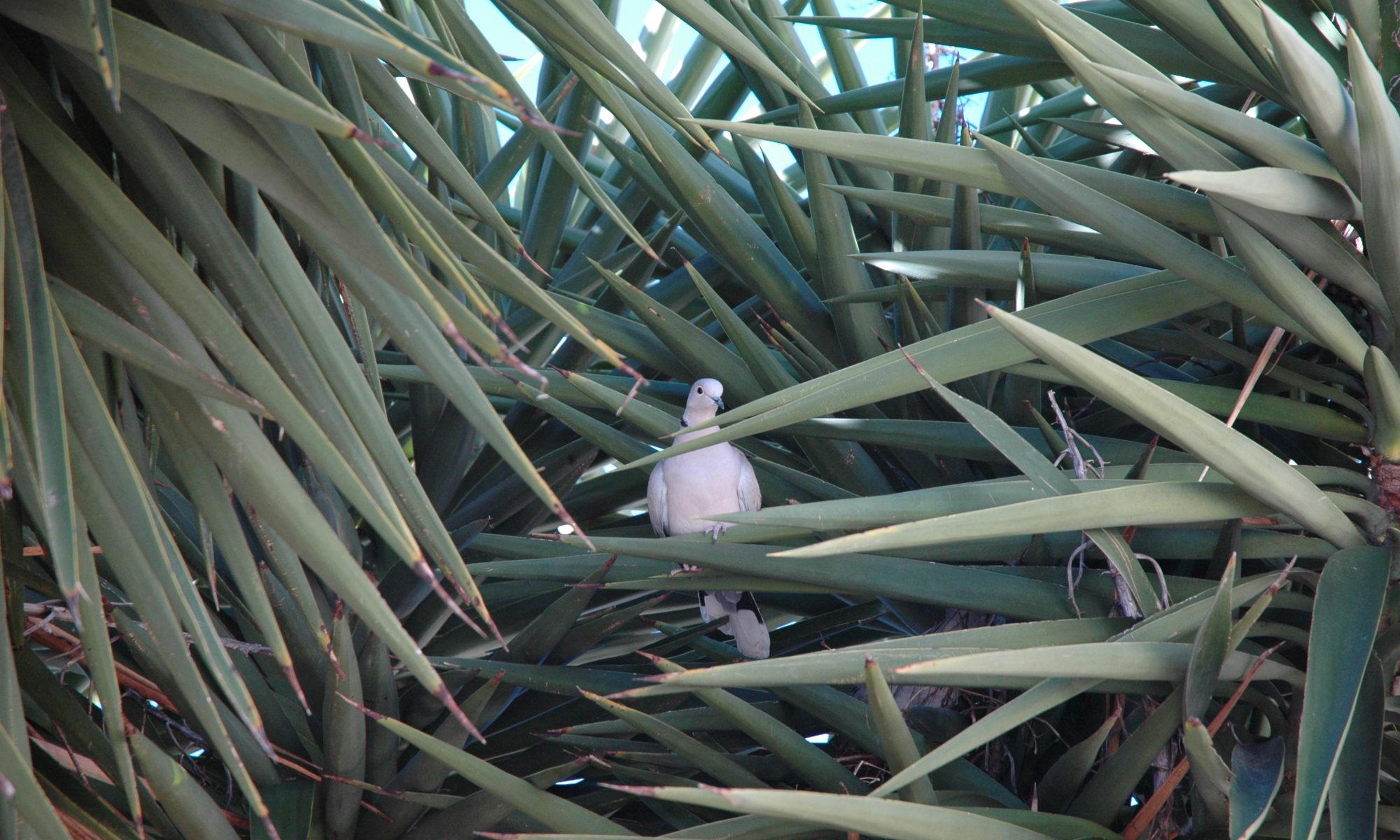 photo pigeon dans le yucca