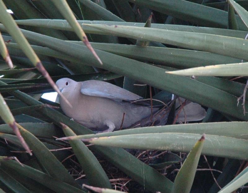 photo du pigeon posé dans le yucca