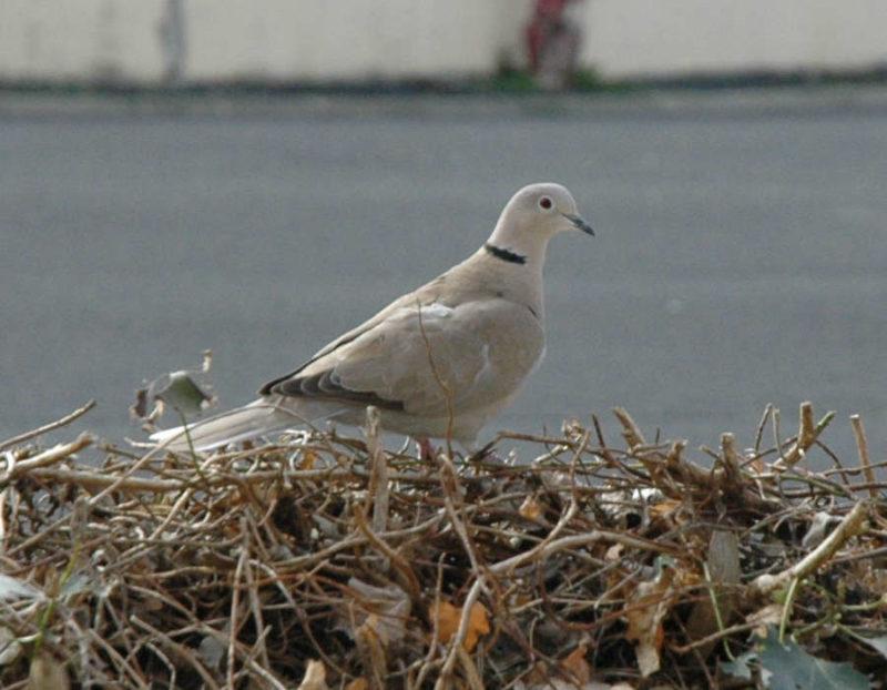 photo du pigeon posé sur la haie