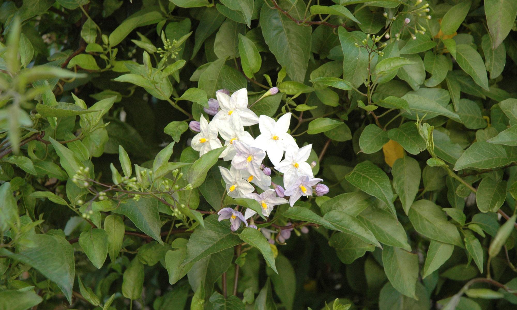 Fleur blanche d'une plante grimpante